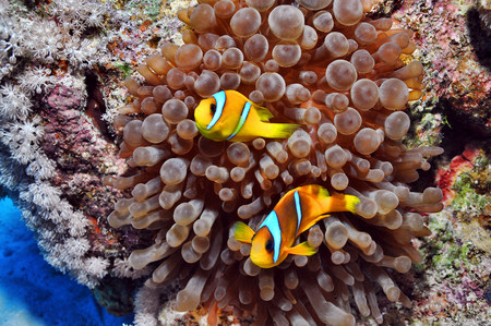 Anemone fish in the Red Sea,Egypt