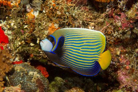 Emperor angelfish,Maldives LANG_EVOIMAGES