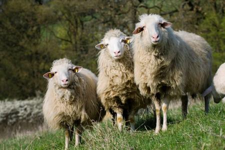 farmyards: Three sheep LANG_EVOIMAGES