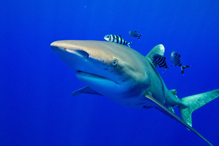 perciformes: View of Oceanic whitetip