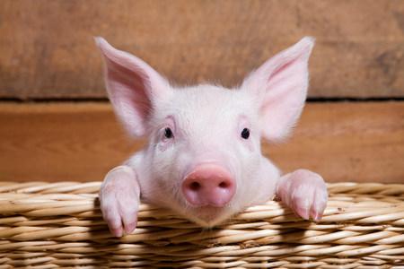 Piglet in basket,close up