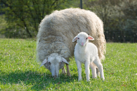 farmyards: Lamb and ewe LANG_EVOIMAGES