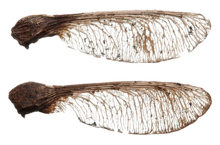 Two sycamore seeds