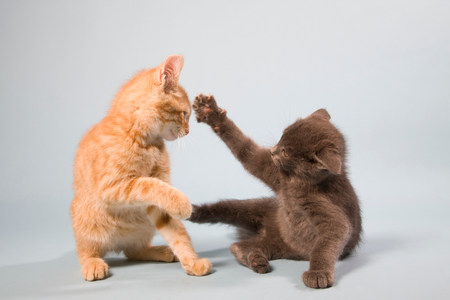 enraged: Two cats play fighting LANG_EVOIMAGES