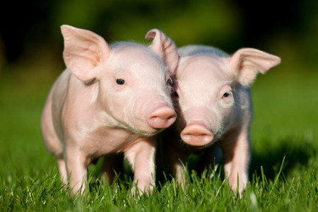 Two piglets on grass LANG_EVOIMAGES