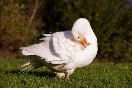 preening: Goose preening