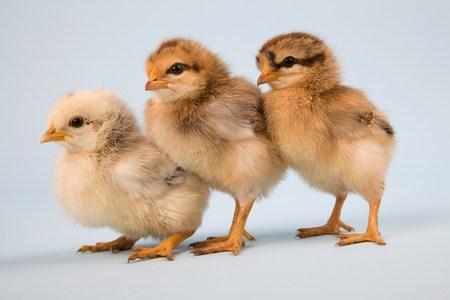Three chicks,studio shot