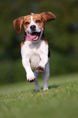 impulsive: Dog running on grass with tongue out LANG_EVOIMAGES