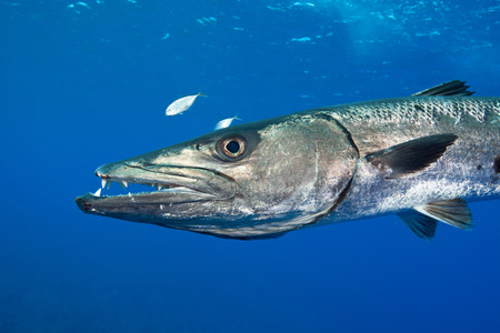 Barracuda gets Defensive LANG_EVOIMAGES