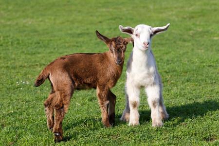 sweet grasses: Two goat kids in field