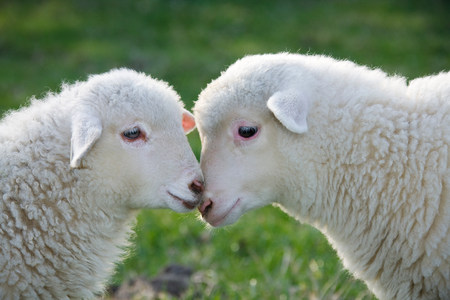 sweet grasses: Two lambs face to face,close up