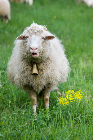 Sheep with bell round neck