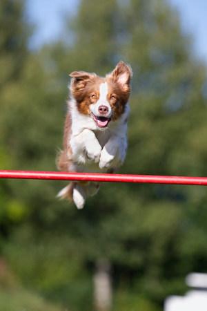 Dog jumping over bar