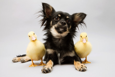 Dog and ducklings,portrait