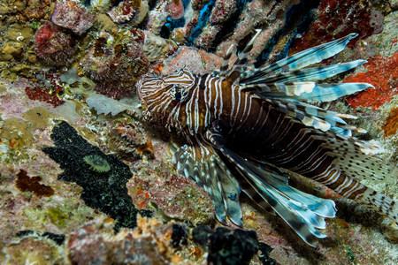 scorpionfish: Lionfish in Unnatural Habitat