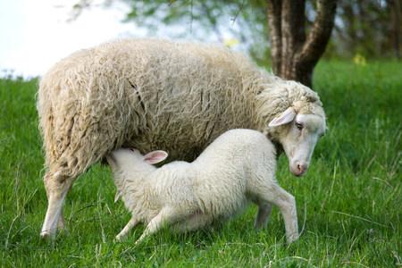 farmyards: Lamb suckling from ewe