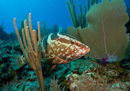 A Wary Nassau Grouper