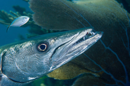 Closeup of Great Barracuda LANG_EVOIMAGES