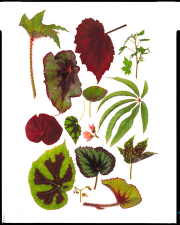 hierarchy: Varieties of Begonia leaves on white background LANG_EVOIMAGES
