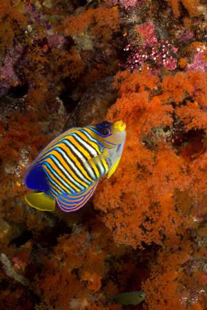 Regal angelfish on coral reef