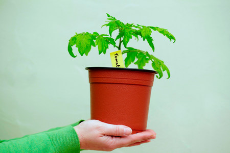 frailty: Person holding a tomato plant