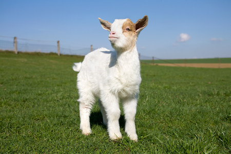 stands: Goat kid in field