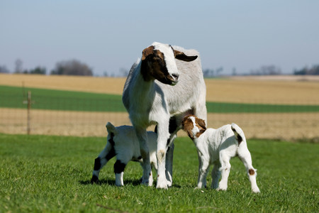 sweet grasses: Two goat kids suckling from mother