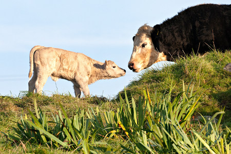 Cow and newborn calf LANG_EVOIMAGES