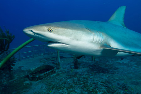 Caribbean Reef Shark and Wreck LANG_EVOIMAGES