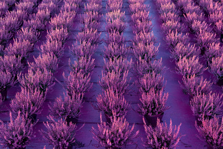 Heather plants growing in rows