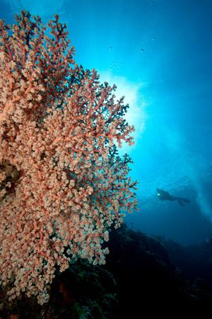 gorgonian sea fan: Scuba Diver and Gorgonian LANG_EVOIMAGES