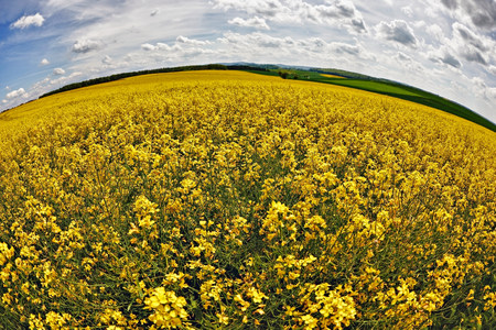 Field of oilseed rape in spring LANG_EVOIMAGES