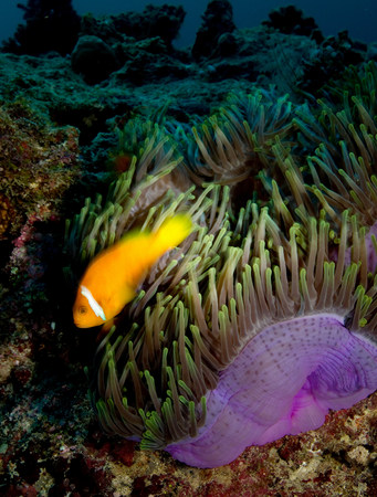 Anemonefish and Anemone LANG_EVOIMAGES