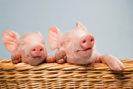 Two piglets in basket