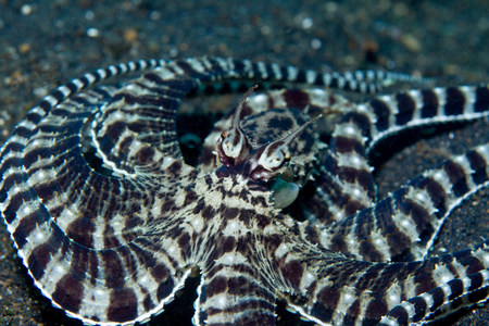 Mimic Octopus Camouflage Mode