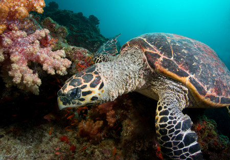Hawksbill Turtle on Coral Reef LANG_EVOIMAGES
