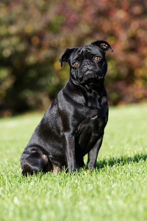pooches: Black dog sitting on grass
