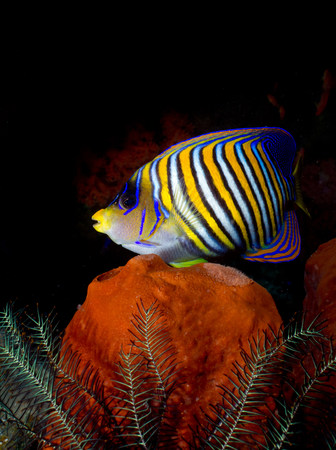 Regal angelfish on coral reef