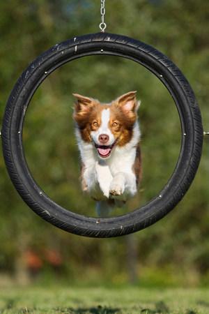 Dog jumping through tyre LANG_EVOIMAGES