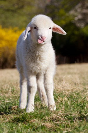 sweet grasses: Lamb standing on grass LANG_EVOIMAGES