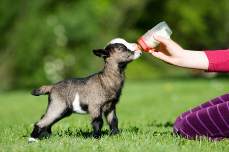 Person feeding goat kid bottle of milk