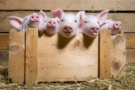 silliness: Five piglets in wooden crate