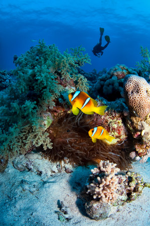 Anemone fish and diver in the Red Sea,Egypt LANG_EVOIMAGES
