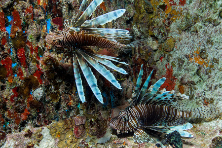 Lionfish in Unnatural Habitat