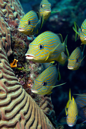 stony coral: School of Blue striped Grunt