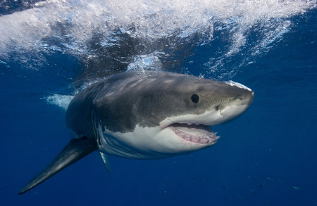 guadalupe island: Great White Shark,Mexico