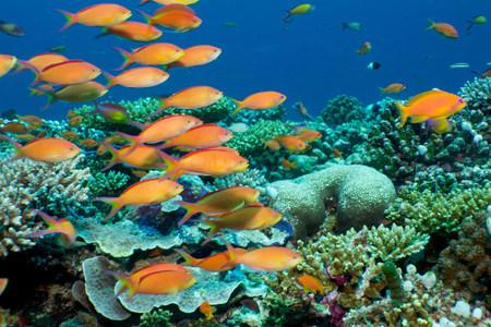 hard coral: Schooling anthias,Maldives