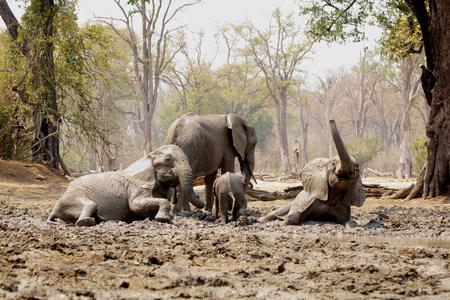 untidiness: African Elephants bathing in mud,Mana Pools,Zimbabwe