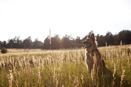sweet grasses: German Shepherd in a field