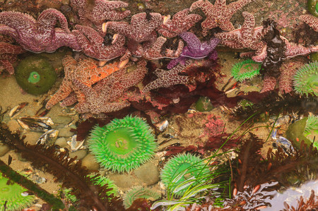 Giant Green Anemones and Pisaster Sea Stars in intertidal zone at low tide,Shi-Shi Beach,Olympic National Park,Washington,USA